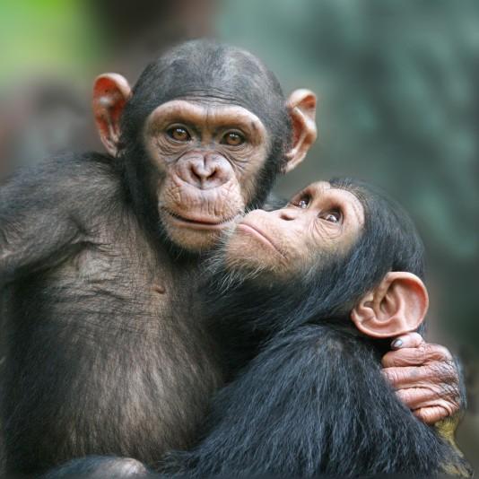 Corona, stropers en ontbossing bedreigen chimpansees